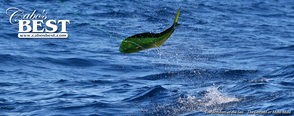 How to catch more dorado in cabo san lucas for Cabo fishing seasons