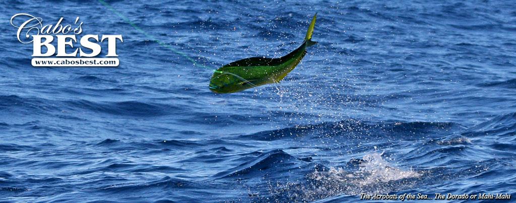 How to catch more dorado in cabo san lucas for Cabo san lucas fishing season