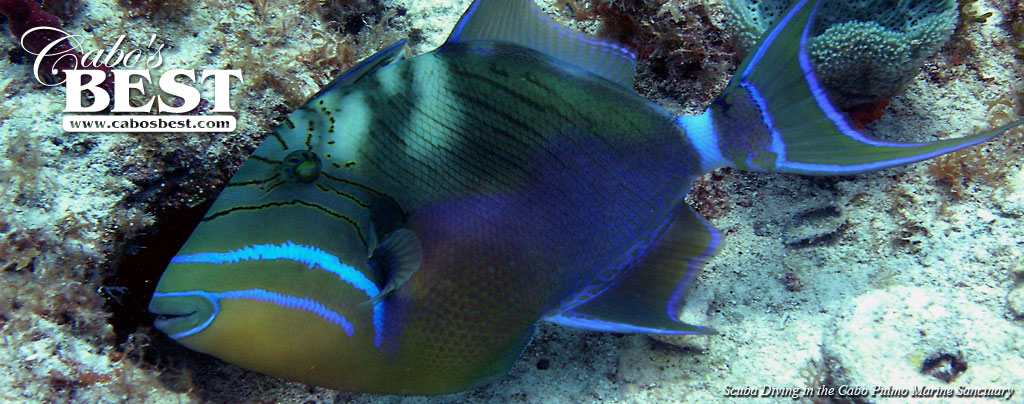 A trigger fish seen while snorkeling in Los Cabos