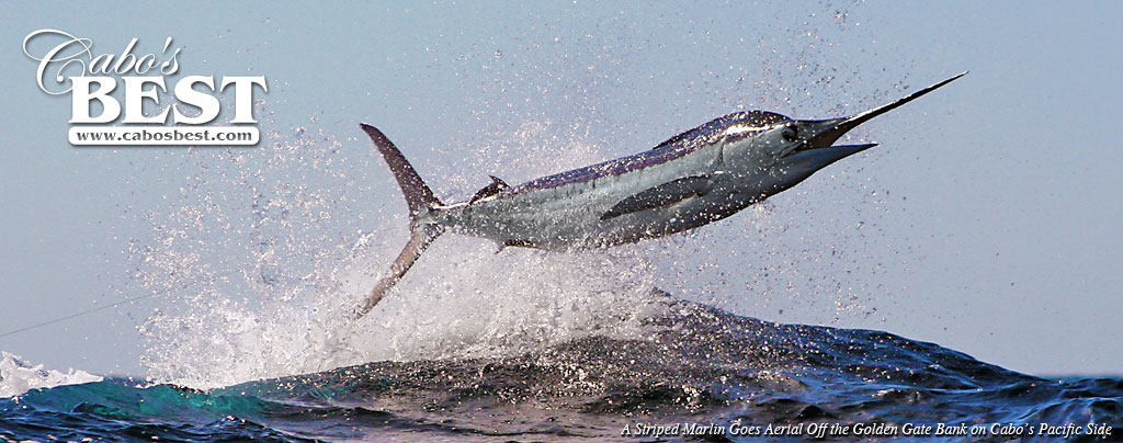 Striped Marlin Jumping in Cabo San Lucas
