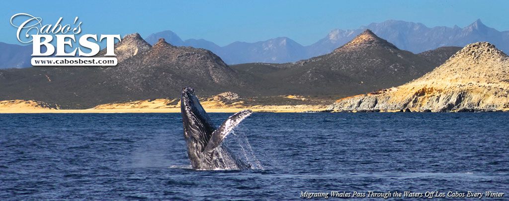 A grey whale breaches off the coast of Los Cabos