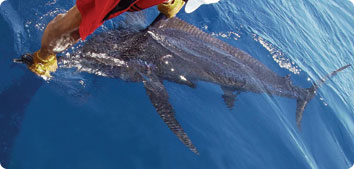 A black marlin is revived prior to being released off of Los Cabos, Mexico