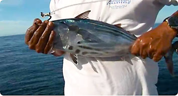 A bridled skipjack or yellowfin tuna is like candy to a hungry marlin