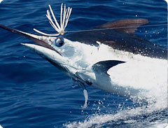Black Marlin fishing tips for Cabo San Lucas