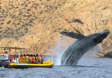 Los Cabos Whale Watching tours with Ocean Riders