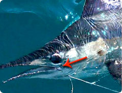 How to fish circle hooks for billfish